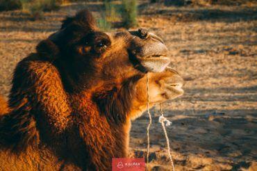 Silk Road camel, Uzbekistan