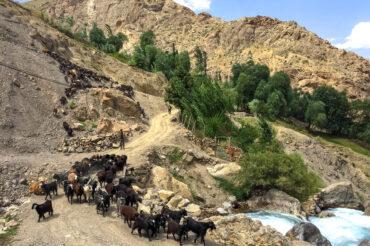 catlle on the road in Tajikistan