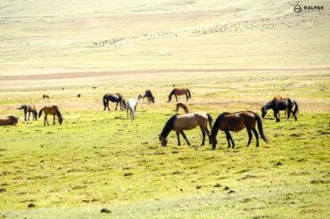 Horses in pasture in Kyrgyzstan
