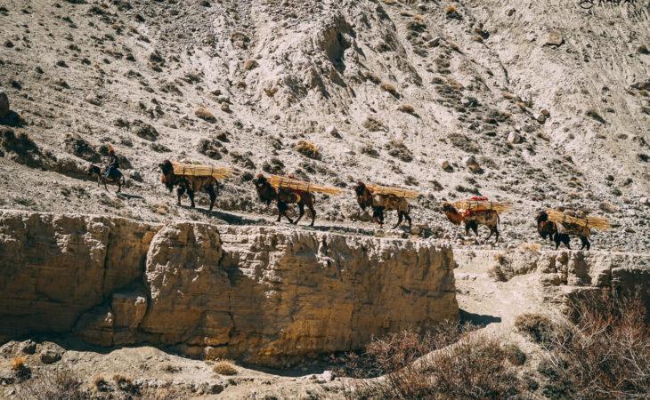 Camels in Pamir