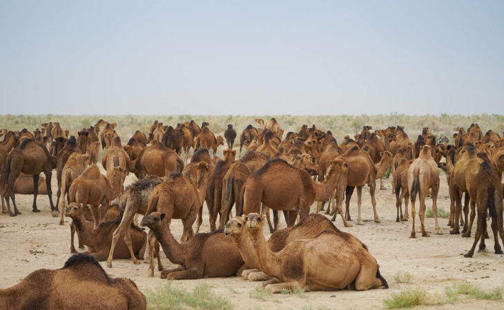 Turkmenistan has many camels