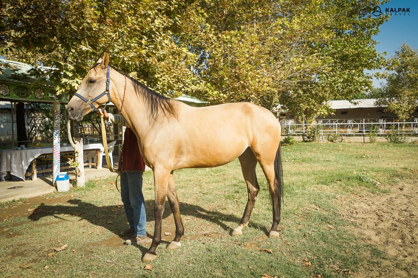 Turkmen horse Akhal Teke