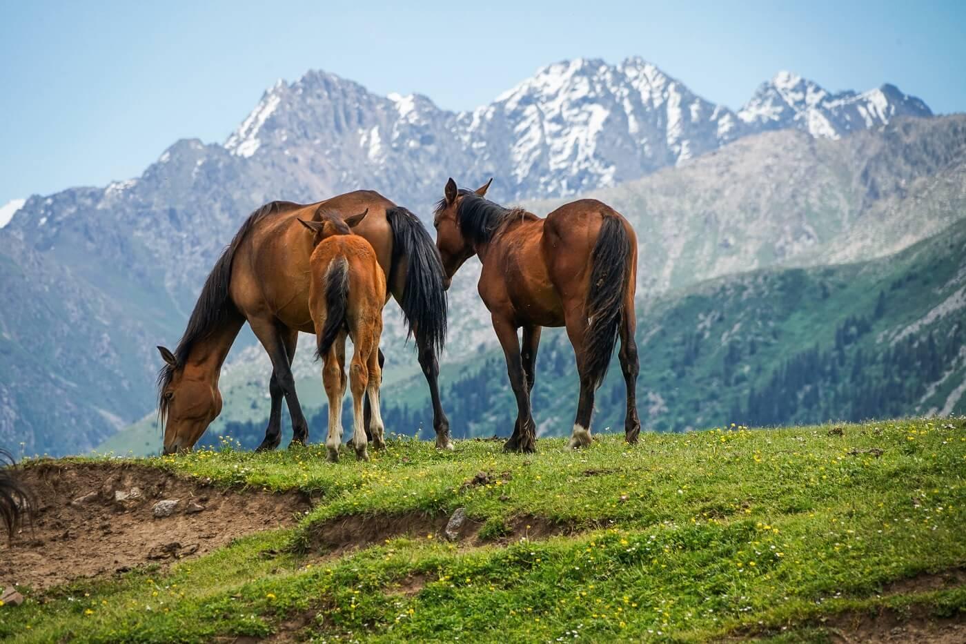 Issyk Kul horses